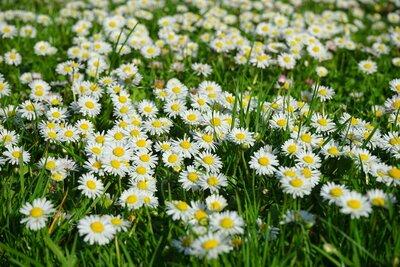 daisies-1920.jpg