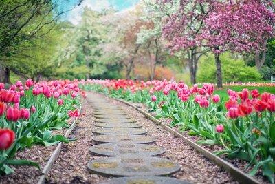 tulip_pathway.jpg